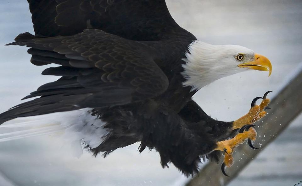 eagle 00